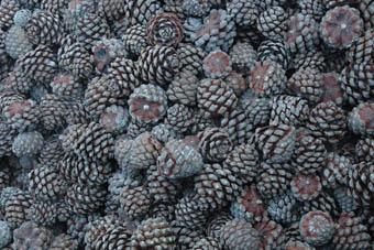 pine-nuts-process2