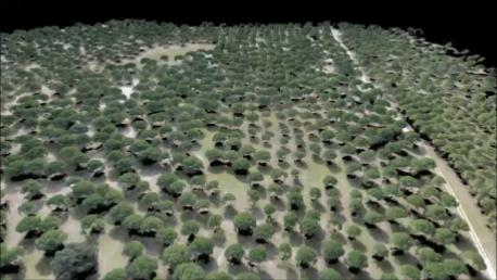 UAV-pinus-pinea